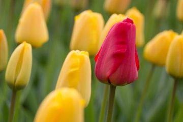 Einzelne rote Tulpe in einem Feld gelber Tulpen